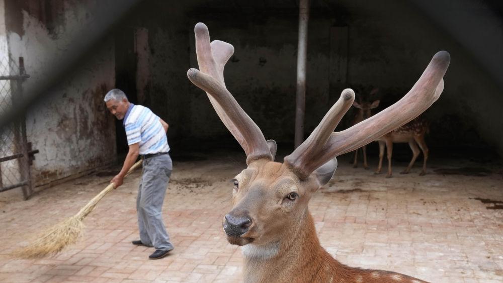 新华社聚焦丨骆驼、香猪、梅花鹿……丰南特色养殖促增收
